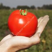 Семена грунтового томата ХАЙД F1